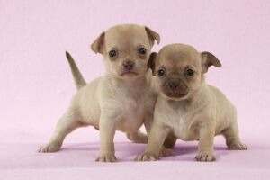 DOG - Chihuahua puppies standing together (6 & 4 weeks)