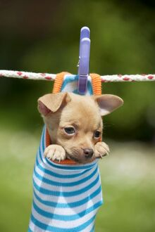 DOG - Chihuahua puppy hanging in sock (4 weeks)