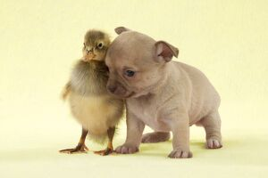 DOG - Chihuahua puppy standing with duckling (4 weeks)