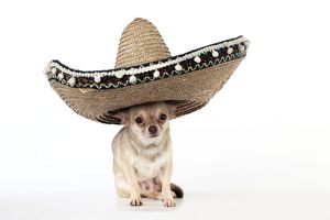 DOG - Chihuahua wearing Mexican hat