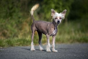 Dog - Chinese Crested Dog - on road
