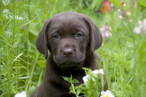 DOG - Chocolate labrador