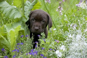 DOG - Chocolate labrador puppy