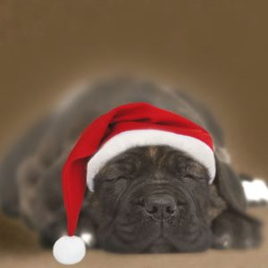 Dog - Chocolate Labrador puppy asleep wearing Christmas hat.