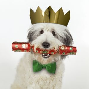 Dog - with Christmas cracker wearing hat & bow tie