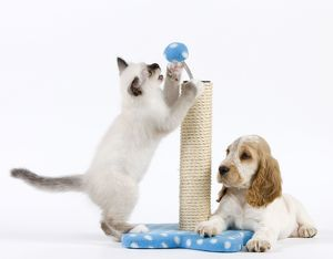 Dog - Cocker Spaniel with Cat - Birman kitten - playing with scratch post