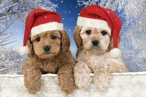 Dog - Cockerpoo puppies (7 weeks old) looking over fence wearing Christmas hats in
