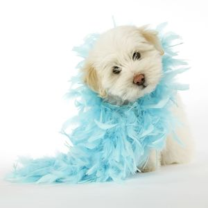 DOG - Coton de Tulear puppy (8 wks old) wearing a feather boa