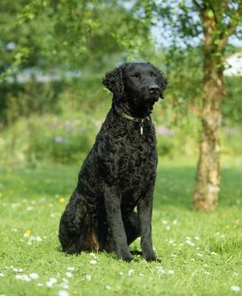Dog - Curly Coated Retriever