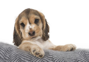 DOG. Cute Cocker Spaniel puppy with paws over cushion