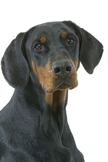 Dog - Doberman