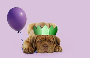 DOG - Dogue de bordeaux puppy