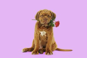 DOG. Dogue de bordeaux puppy sitting down holding a rose