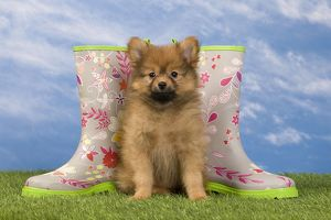 Dog - Dwarf Spitz. puppy and wellington boots / wellies