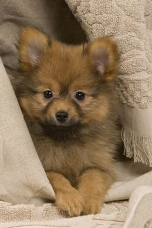 Dog - Dwarf Spitz. puppy wrapped in towel