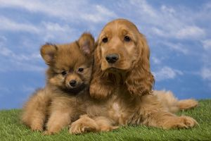 Dog - English Cocker Spaniel - with Dwarf Spitz - puppies