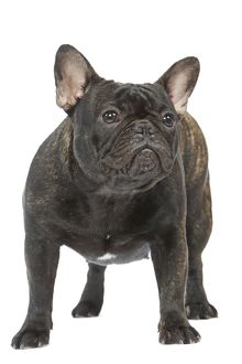 Dog - French Bulldog in studio