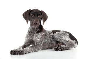DOG - German Shorthaired Pointer - laying down