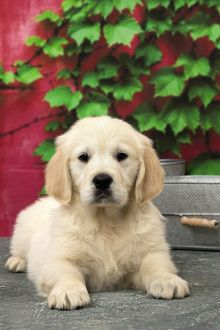 Dog Golden Retriever 8 week old puppy