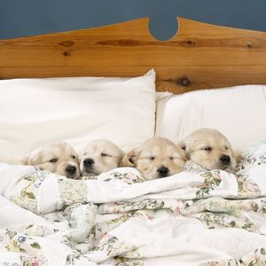 DOG - Golden Retriever Puppies, 4 in a bed