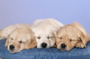 DOG - golden RETRIEVER puppies, with eyes closed, on cushion