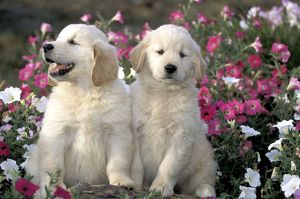 DOG - two Golden Retriever puppies amongst flowers