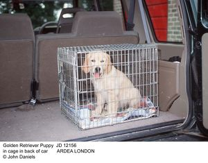 DOG - Golden Retriever Puppy in cage in back of car
