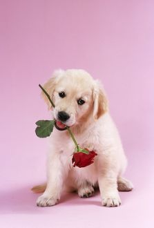 DOG - Golden Retriever puppy sitting with rose in mouth