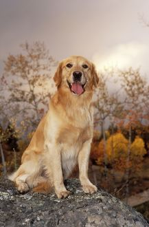 DOG - Golden Retriever, sitting on rock