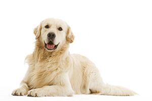 Dog - Golden retriever in studio