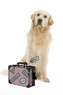 Dog - Golden retriever with suitcase