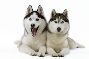 Dog - Huskies
