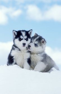 DOG - two husky puppies sitting on snow