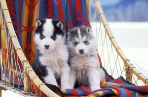 DOG - two husky puppies on sleigh