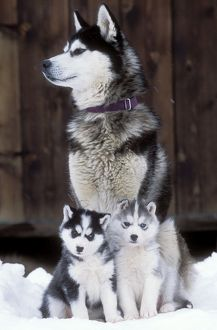 DOG - Husky sitting with two puppies