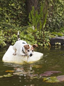 Dog - Jack Russell - playing on pond