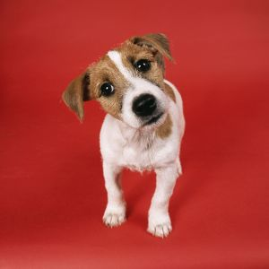 DOG - Jack Russell puppy