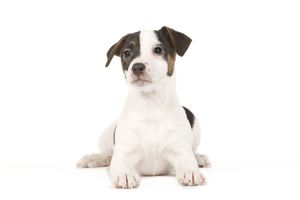 Dog - Jack Russell puppy in studio