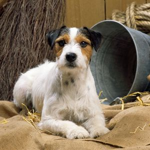 DOG - Jack Russell Terrier, lying in stable