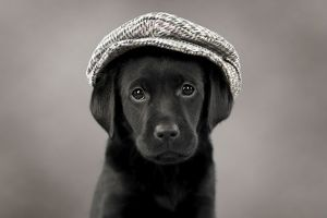 Dog Labrador puppy wearing a cap ( black, 6 weeks