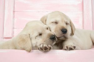 DOG. Labrador retriever puppies asleep in a wooden box