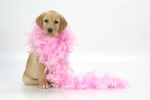 DOG - Labrador Retriever puppy (9 wks old) with pink feather boa