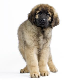 Dog - Leonberger - puppy