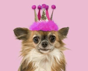Dog - Long-Haired Chihuahua wearing a pink fluffy crown hat