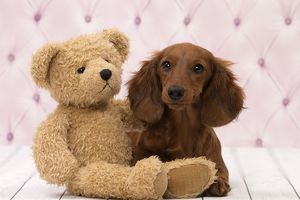 Dog Long Haired Dachshund puppy with teddy bear