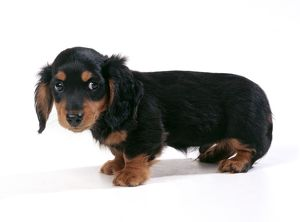 DOG - Miniature Long-Haired Dachshund / Teckel Puppy