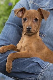 Dog - Miniature Pinscher puppy in owners arms