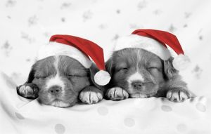 DOG - Nova scotia duck tolling retriever puppies wearing Christmas hats