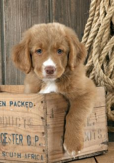 DOG - Nova scotia duck tolling retriever puppy sitting in box (8 weeks)