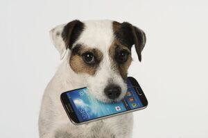 Dog Parson Jack Russell with mobile phone in mouth